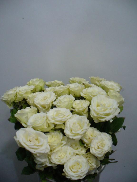 Местная белая роза
