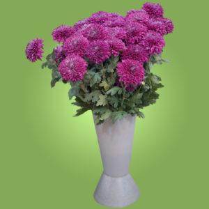 Хризантема фиолетовы